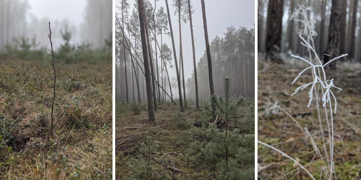 Drei Bilder zeigen Aufnahmen von Kiefern und kleineren Pflanzen im Wald