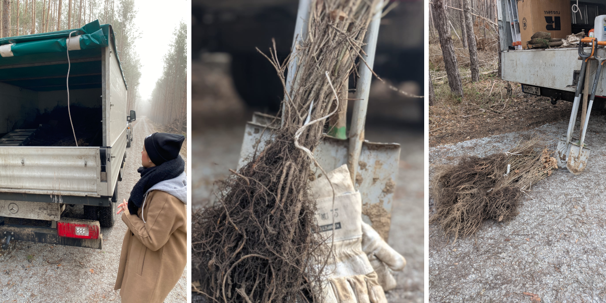 Three pictures show how the seedlings are loaded from the truck
