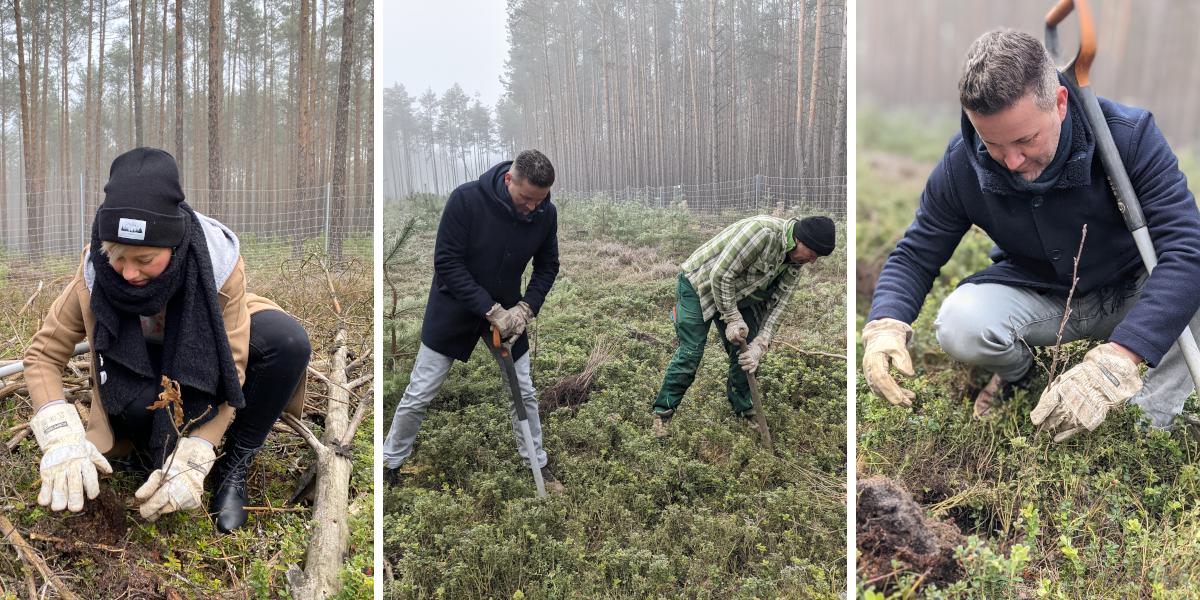 Drei Bilder zeigen, wie drei Personen Stecklinge in den Waldboden pflanzen